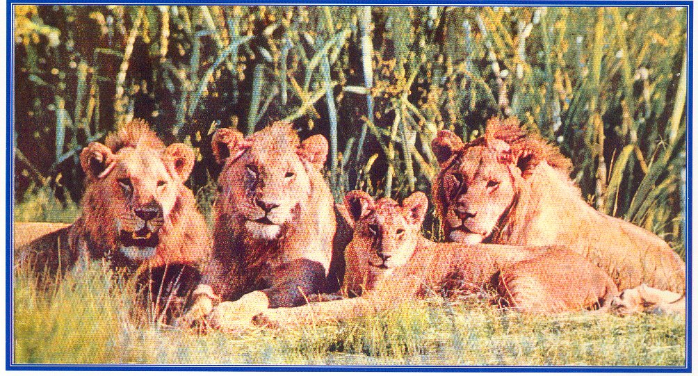 FAMILLE DE LIONS